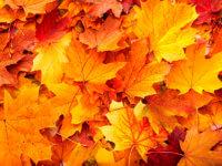 Orange fallen leaves